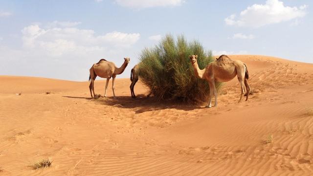 Gitex 2012 Camels